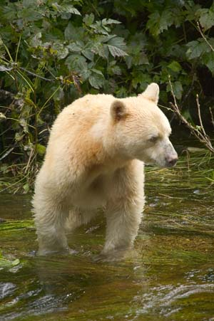 BCs Provincial Animal the Kermode Bear also known as the Spirit Bear