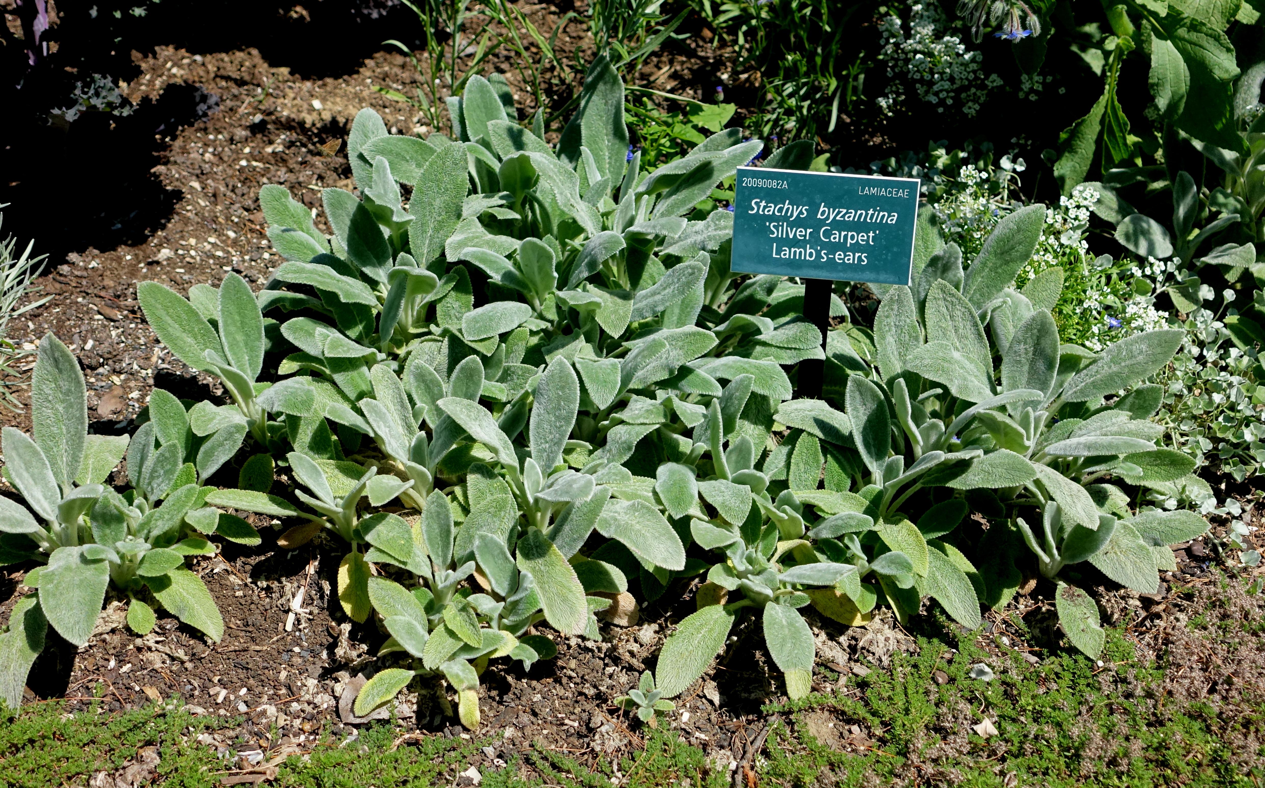 File:Stachys byzantina 'Silver Carpet' - Coastal Maine Botanical Gardens - DSC03104.jpg