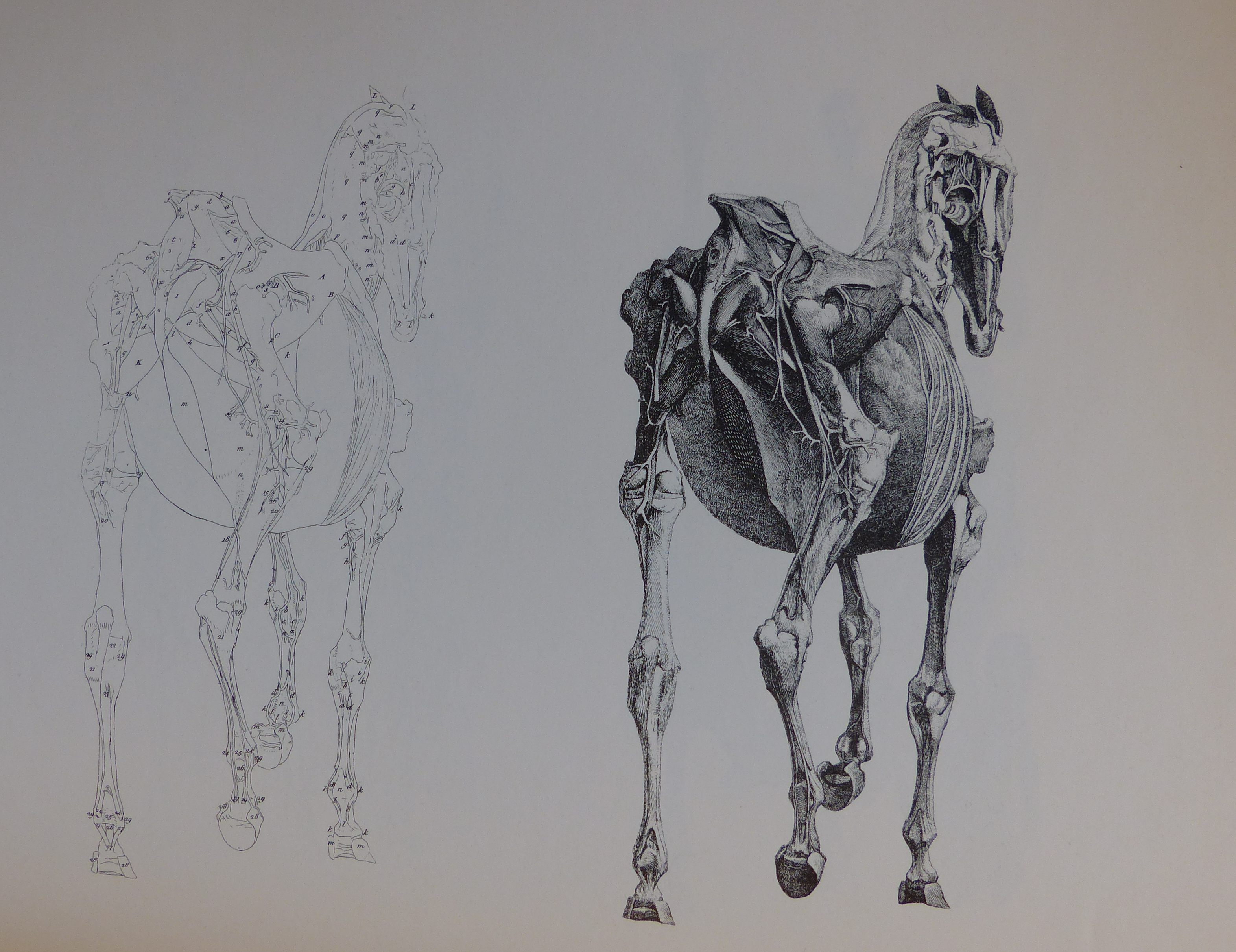 Filestubbs Anatomy Of The Horse 6g Wikimedia Commons