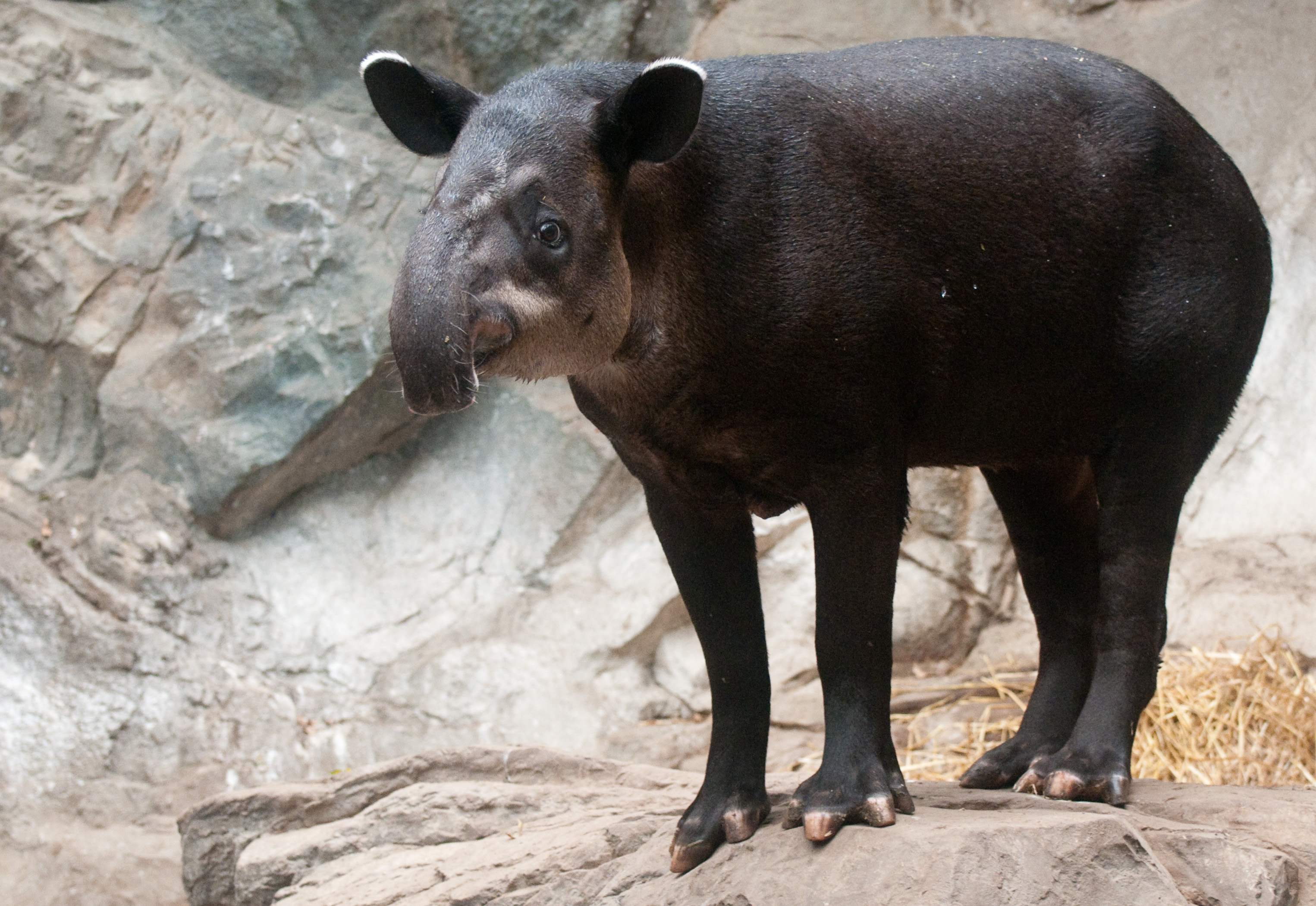 Tapirus bairdii -Franklin Park Zoo, Massachusetts, USA-8a.jpg