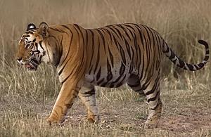 Tigre-de-bengala macho selvagem.