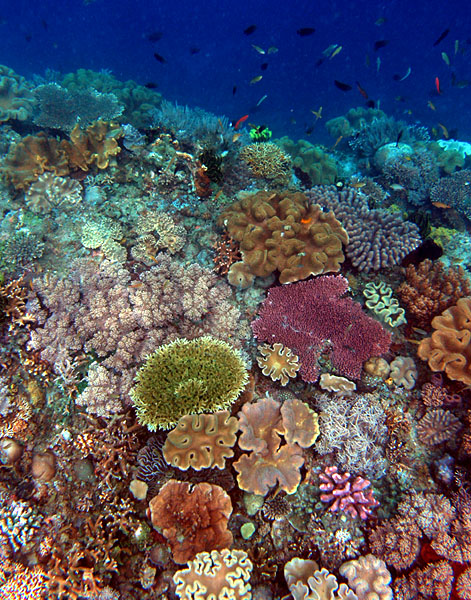 Timor Coral Reef