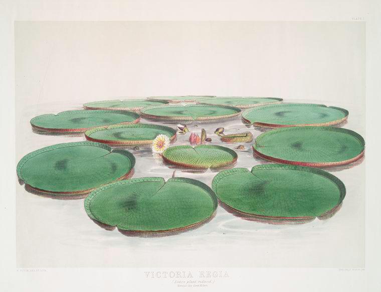 File:Victoria Regia. (Entire plant reduced) (1851).jpeg
