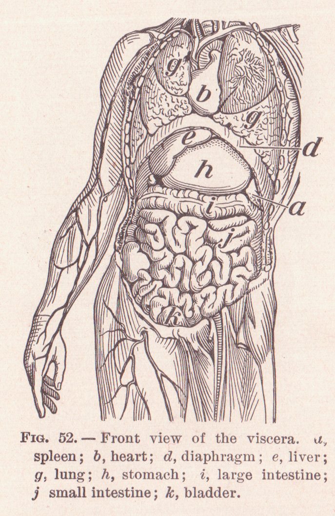 Anatomical terms of location - Wikipedia