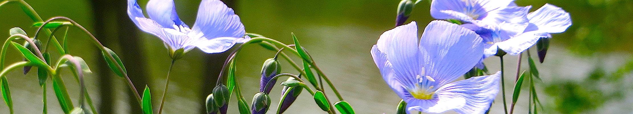 Цветение льна обыкновенного.