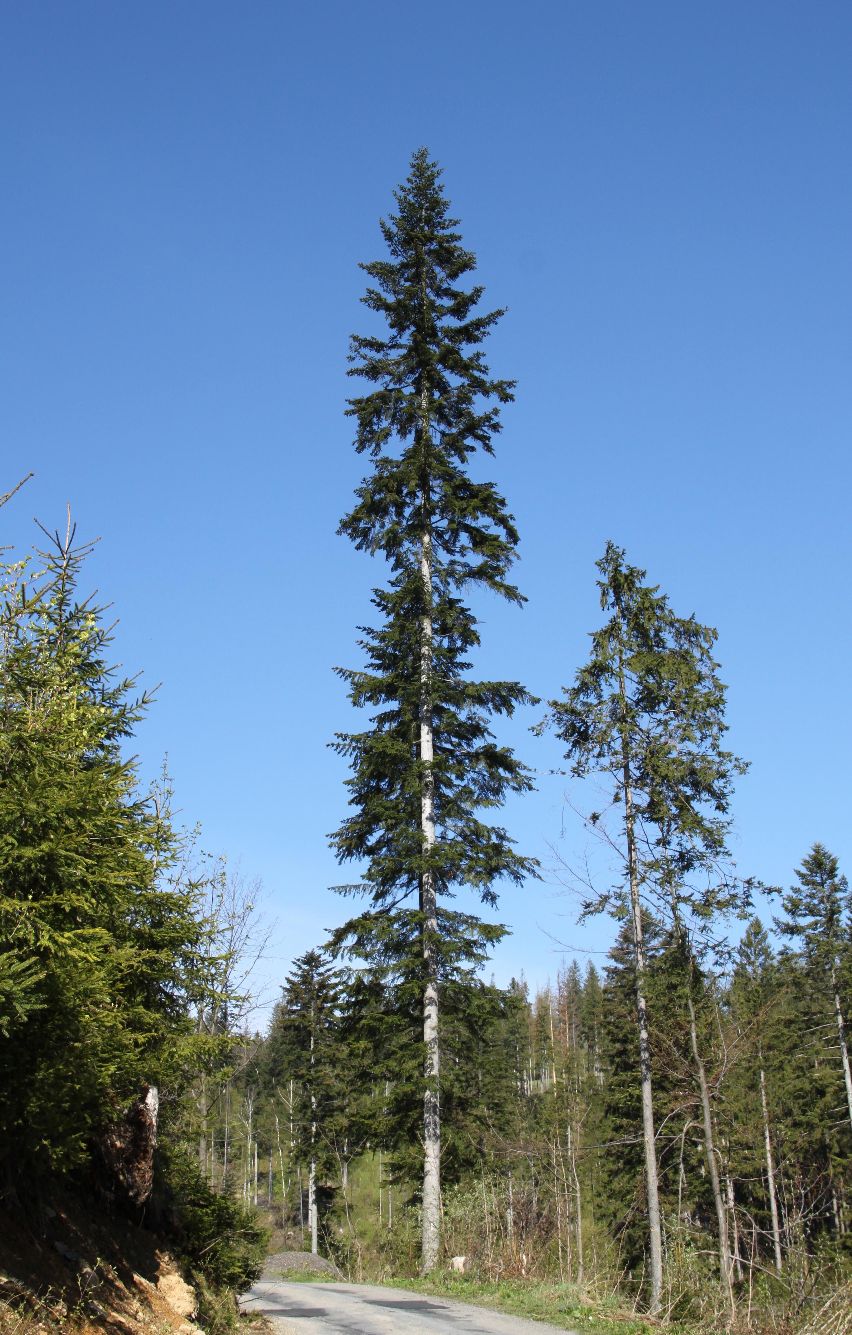 Abies alba - Wikipedia