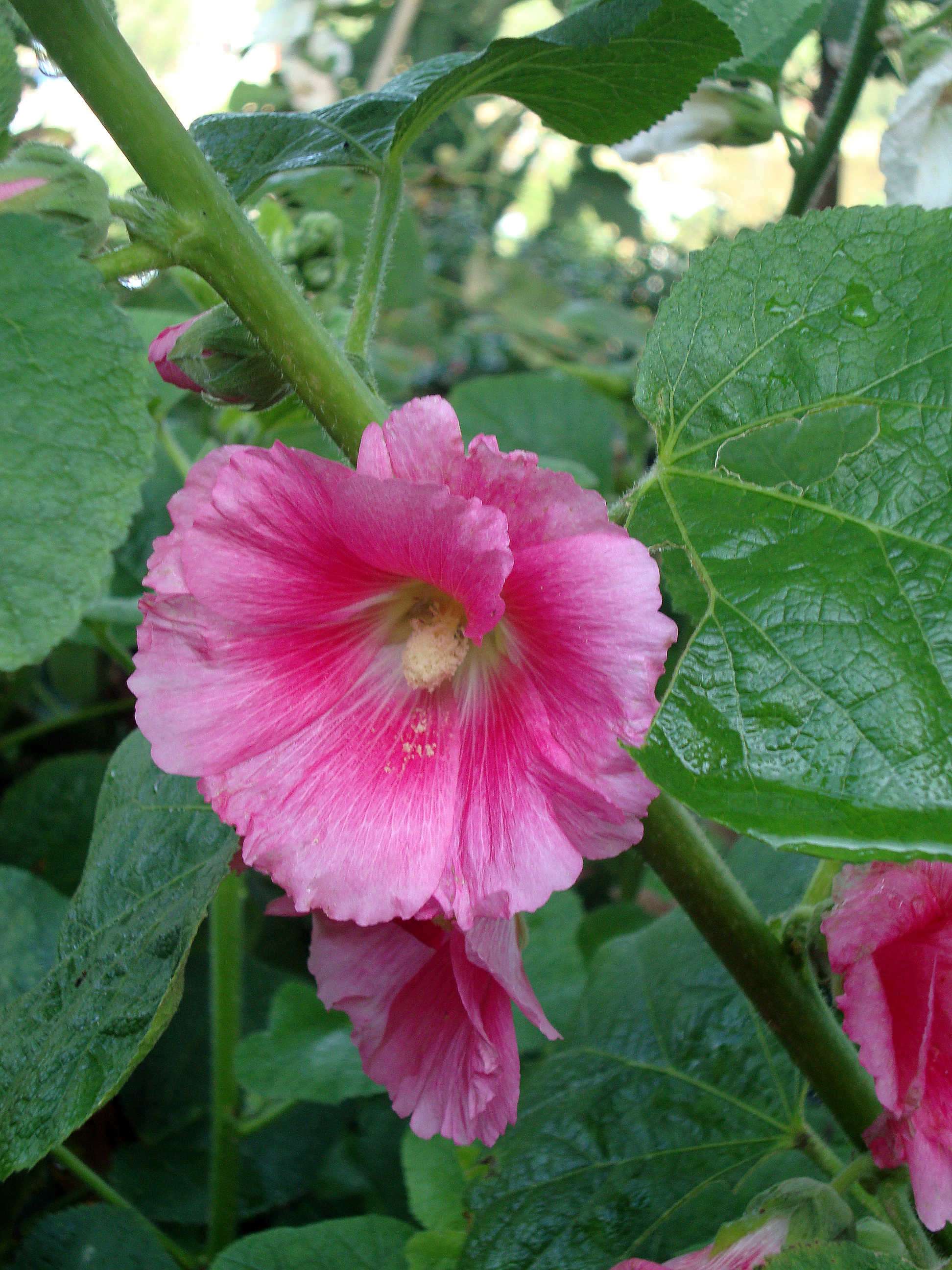 File alcea rosea 6 jpg wikimedia commons for Alcea rosea