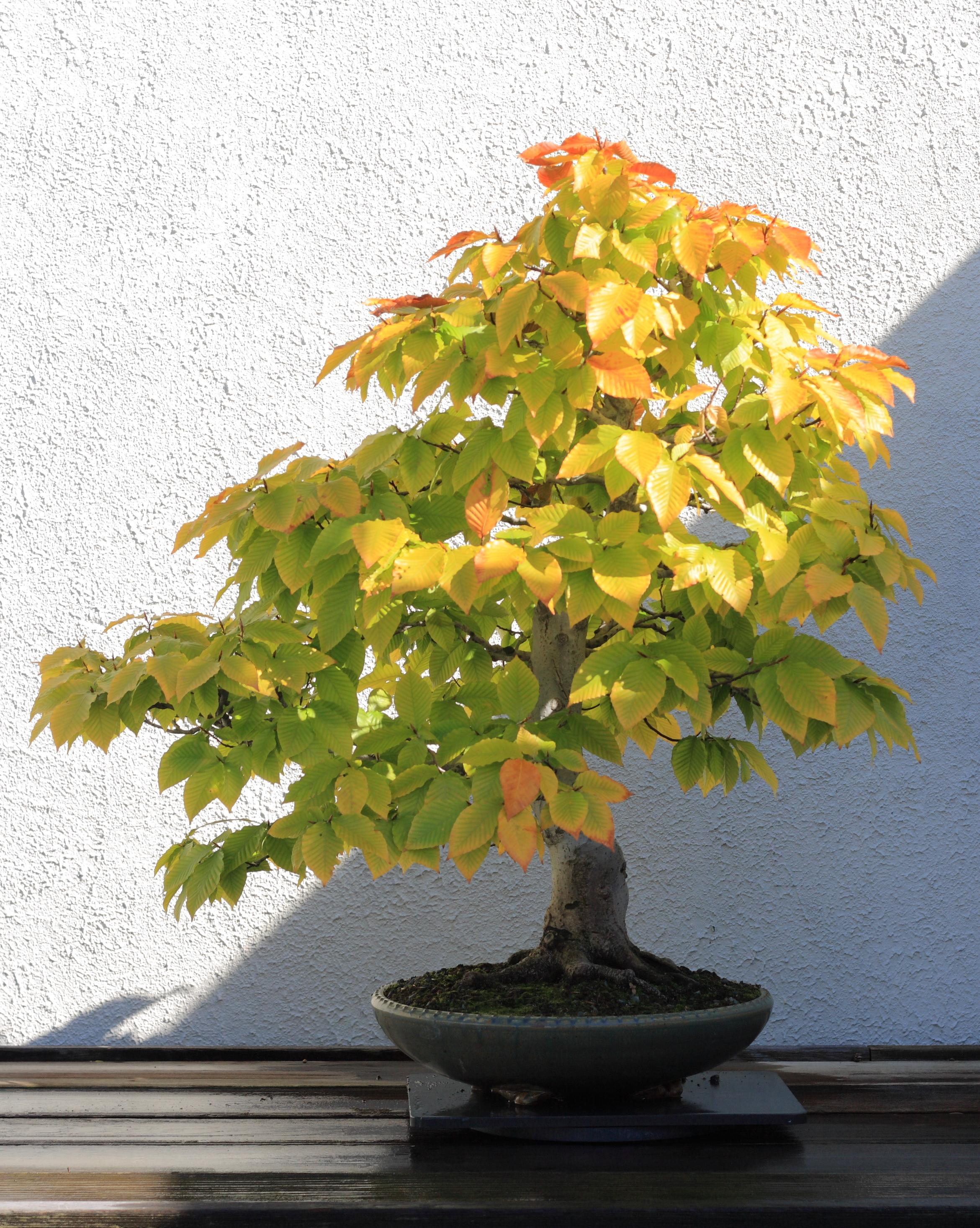 File american beech bonsai 272 october 10 - Bonsai de haya ...