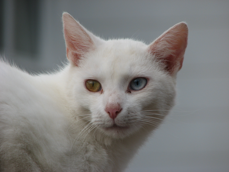 filean oddeyed cat in bystrcjpg wikimedia commons