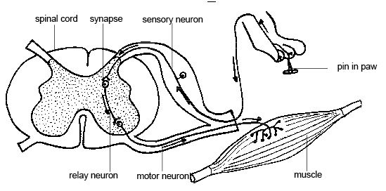 labelled reflex arc