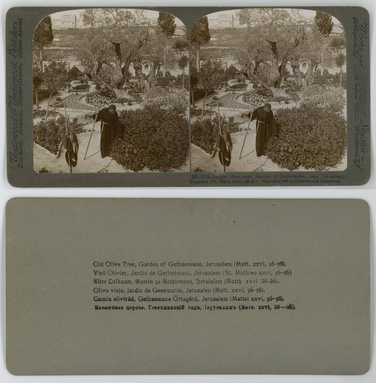 File:Ancient Olives Trees, Garden Gethsemane, Near Jerusalem ...