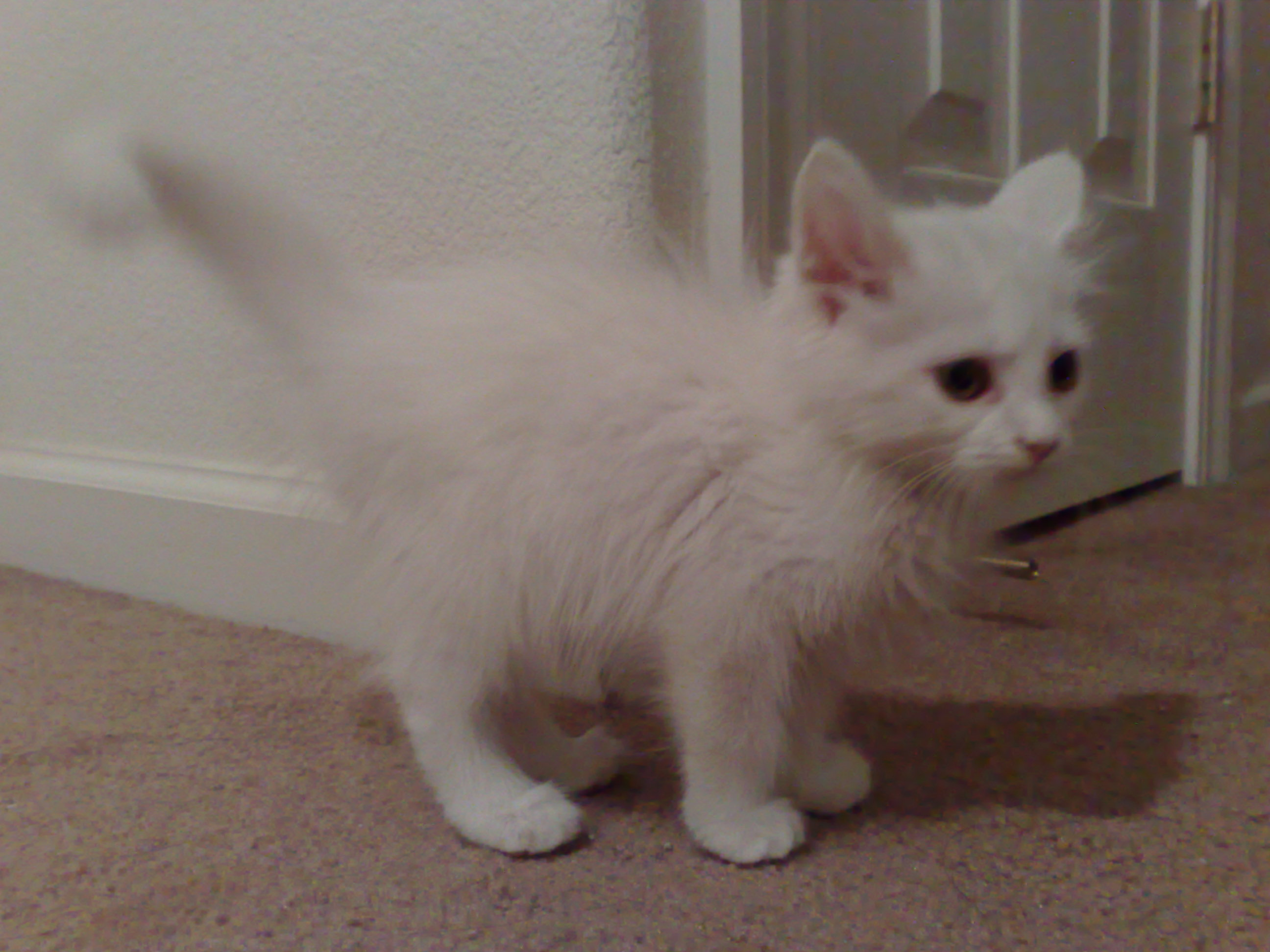 9f59d6f49c File Angora Kitten.jpg - Wikimedia Commons