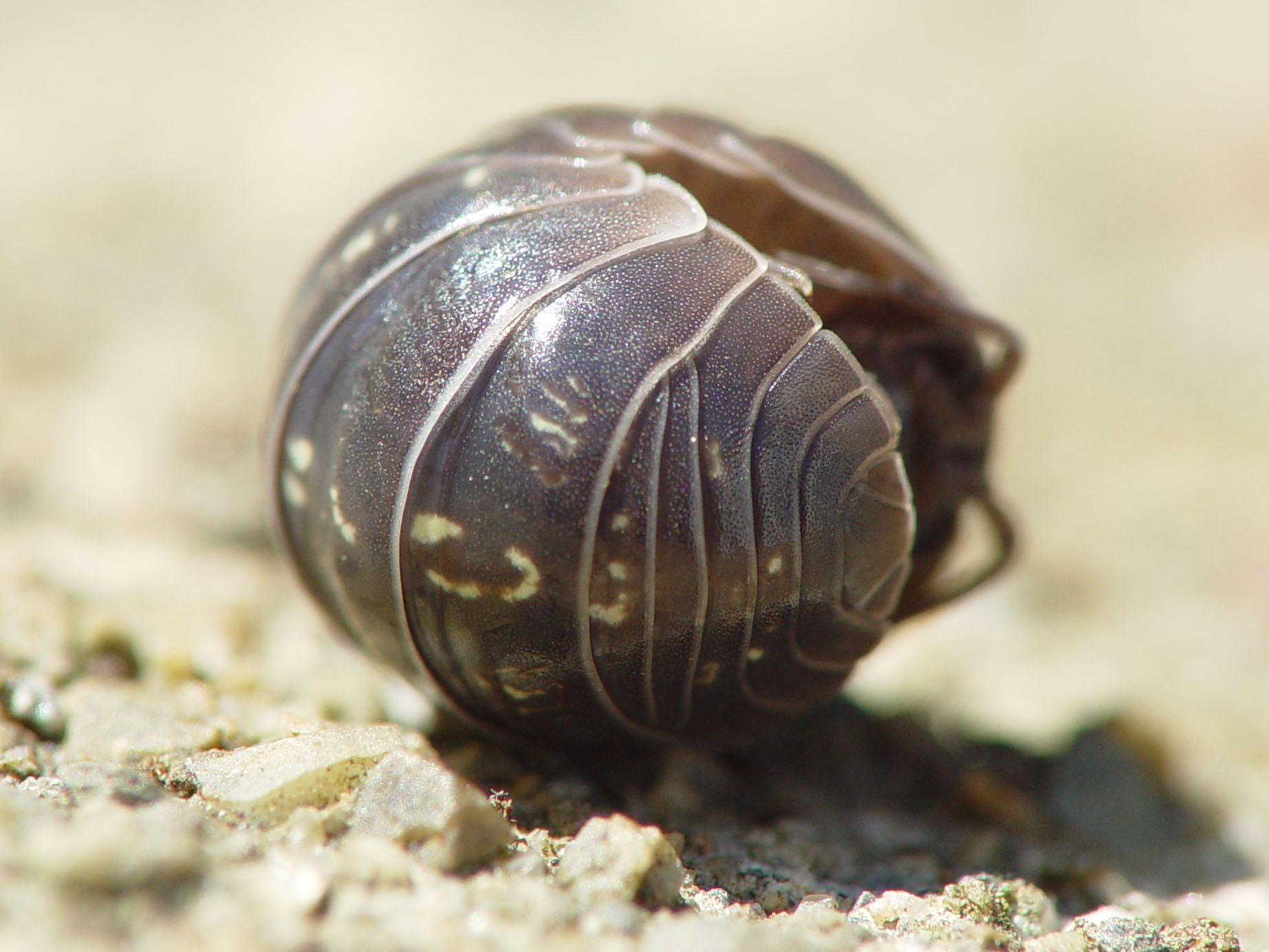 pill bugs The pill bug, armadillidium vulgare, is an uncommon bug that can be found under rocks all day, all year it can be sold for 250 bells an information board in the bug exhibit will provide information about this bug.