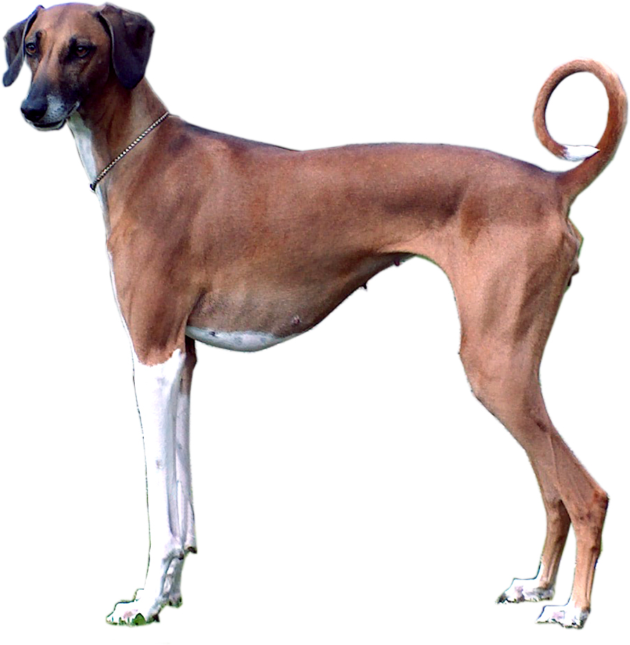 Breed Of Dog Thomas Bradley Owns And Shows