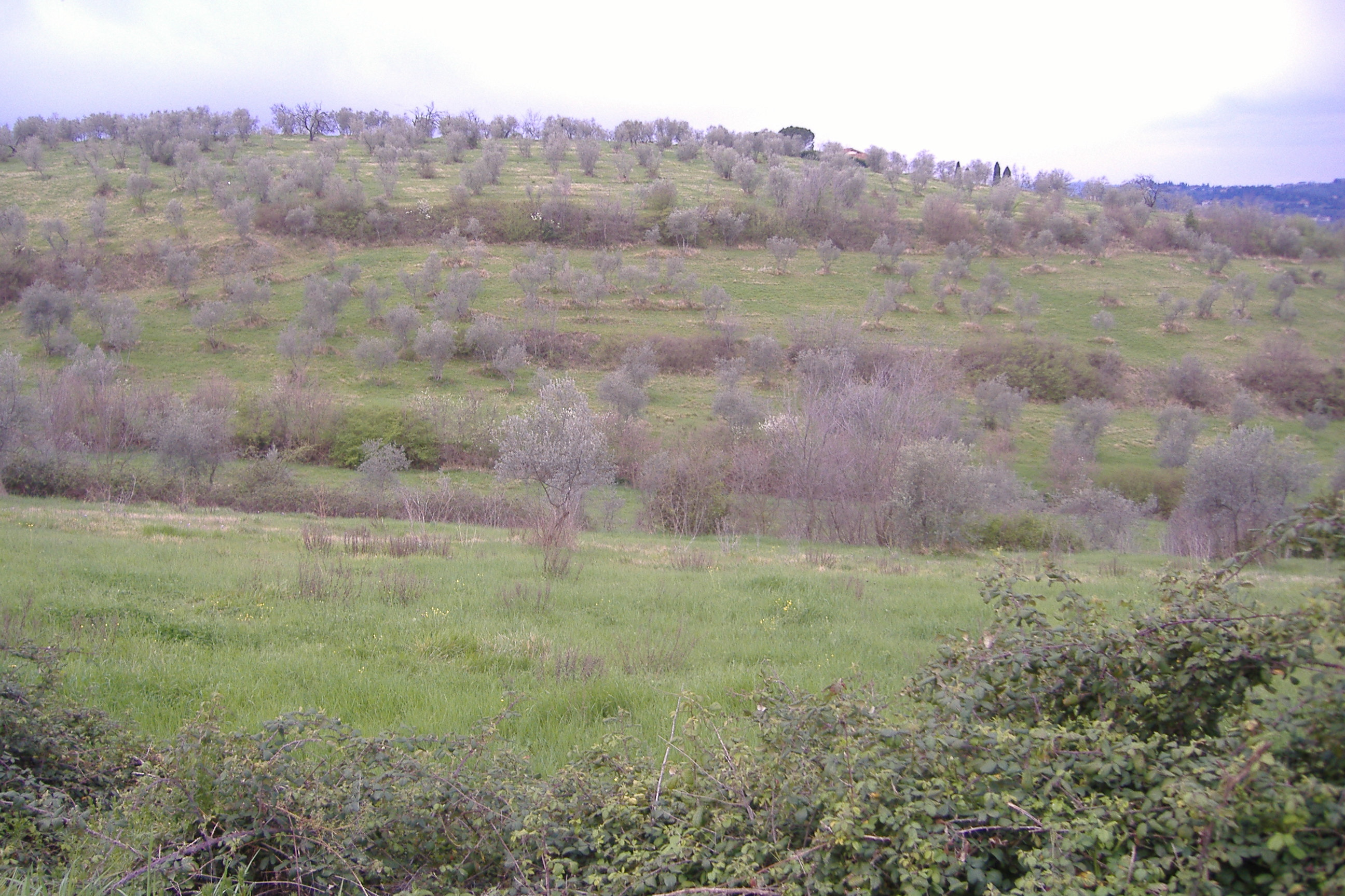 panorama di ulivi a bagno a ripoli