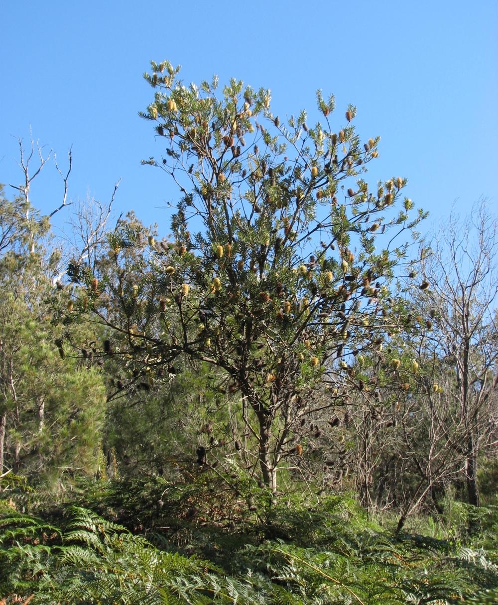 File Banksia Marginata Arthurs Seat Jpg Wikimedia Commons