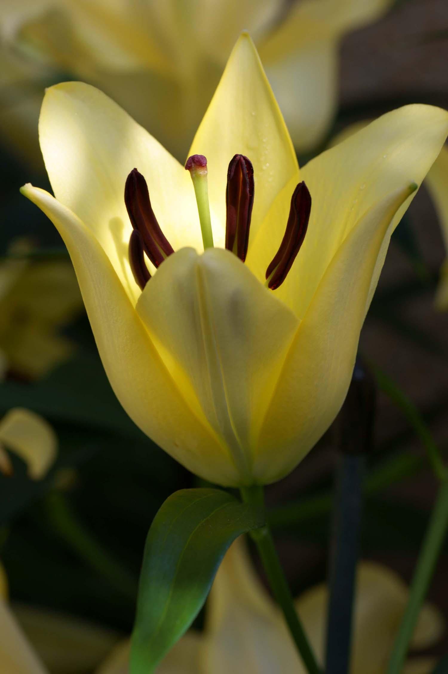 Filebeautiful Cream Lily Flower Photog Wikimedia Commons
