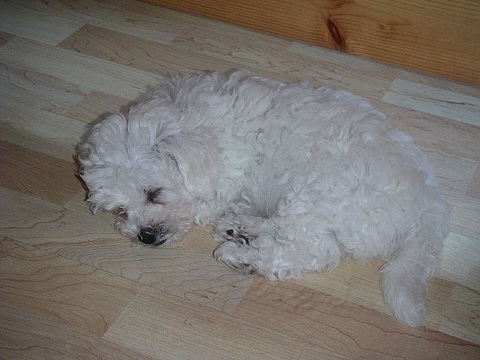 Bichon Frise Puppies on Soubor Bichon Frise Puppy Sleeping Jpg   Wikipedie
