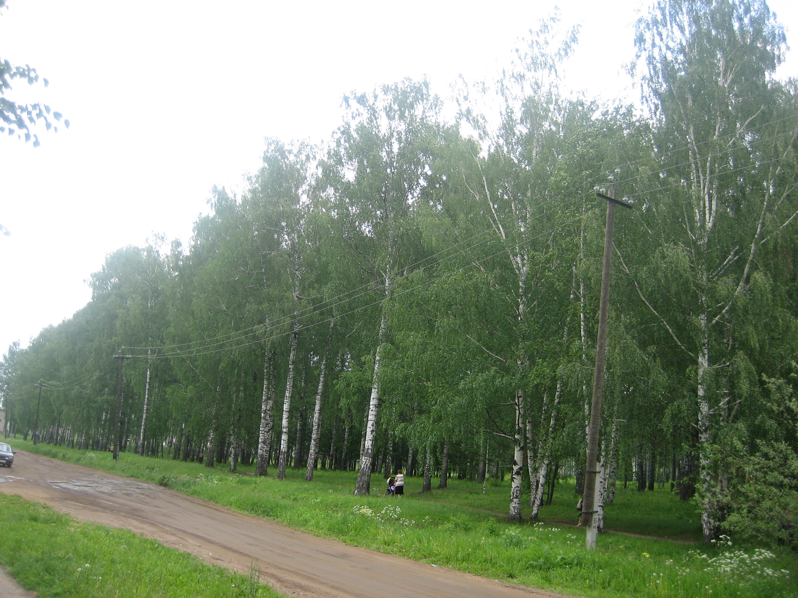 File birchwood yaransk jpg The birchwood