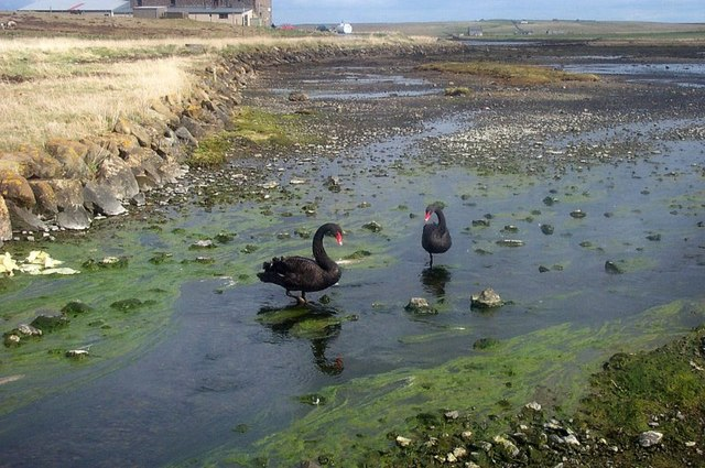 File:Black Swans (Cygnus atratus), the Houb, Baltasound - geograph.org.uk - 1505252.jpg