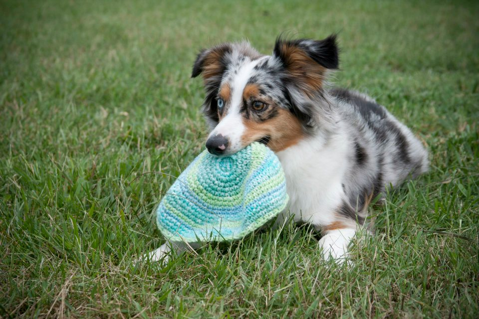 Blue Merle Miniature American Shepherd with Frisbee.jpg