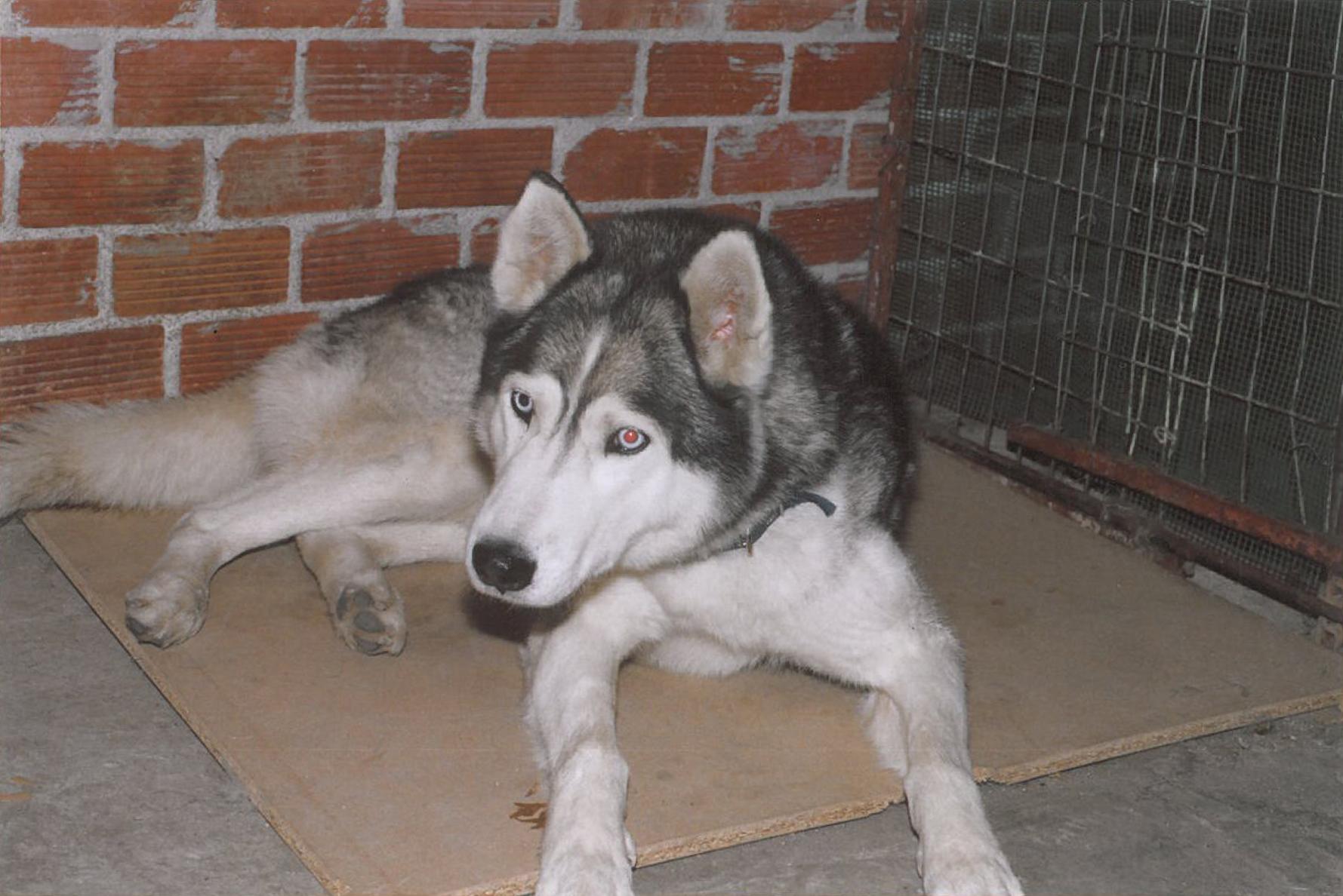 File Blue Eyed Siberian Husky Jpg Wikimedia Commons