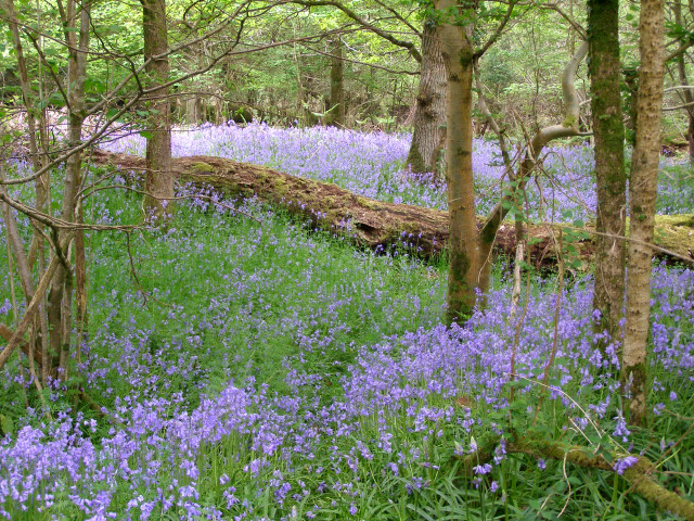 Bluebells in Roydon Woods - geograph.org.uk - 170453