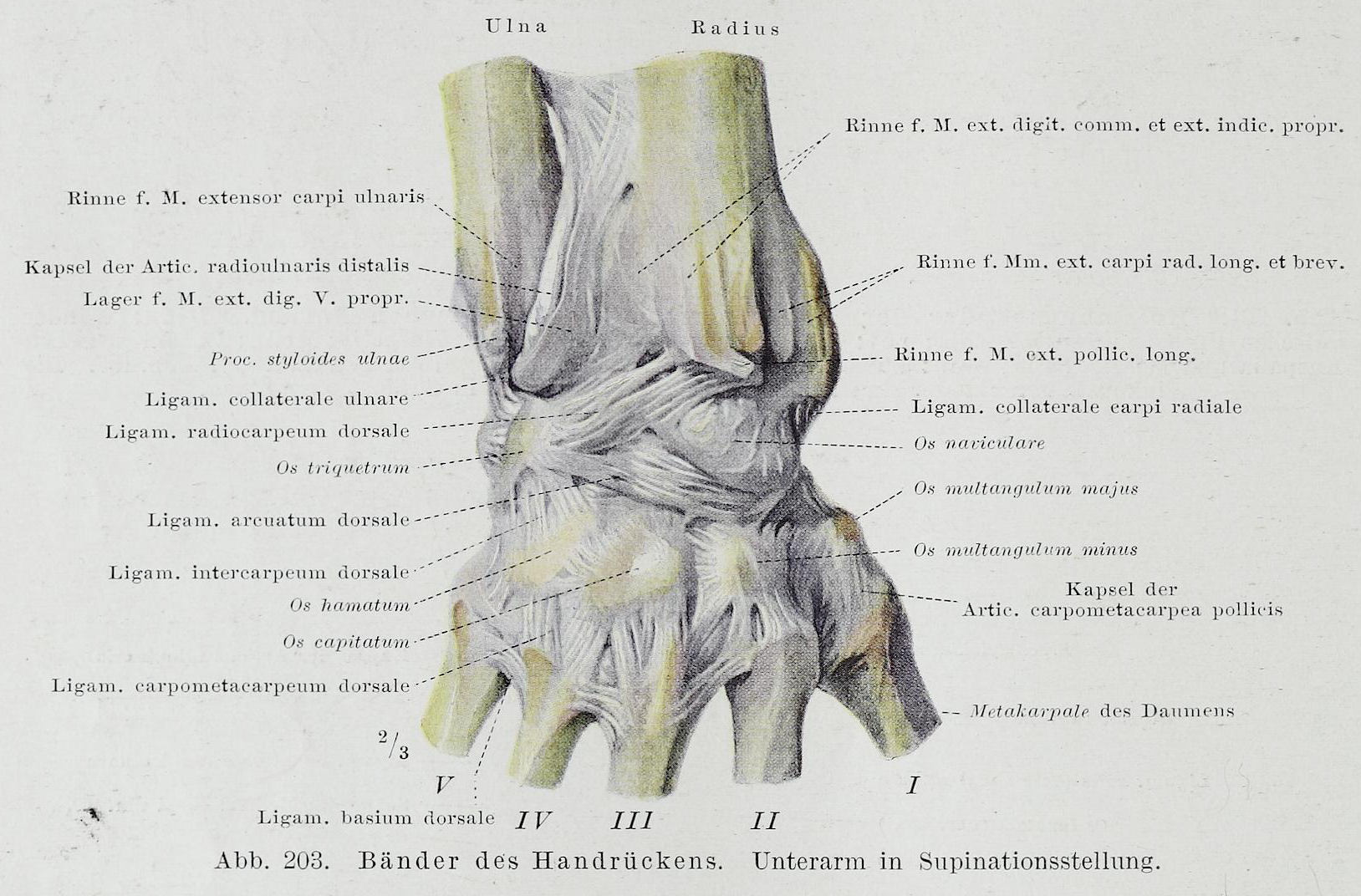 File:Braus 1921 203.png - Wikimedia Commons