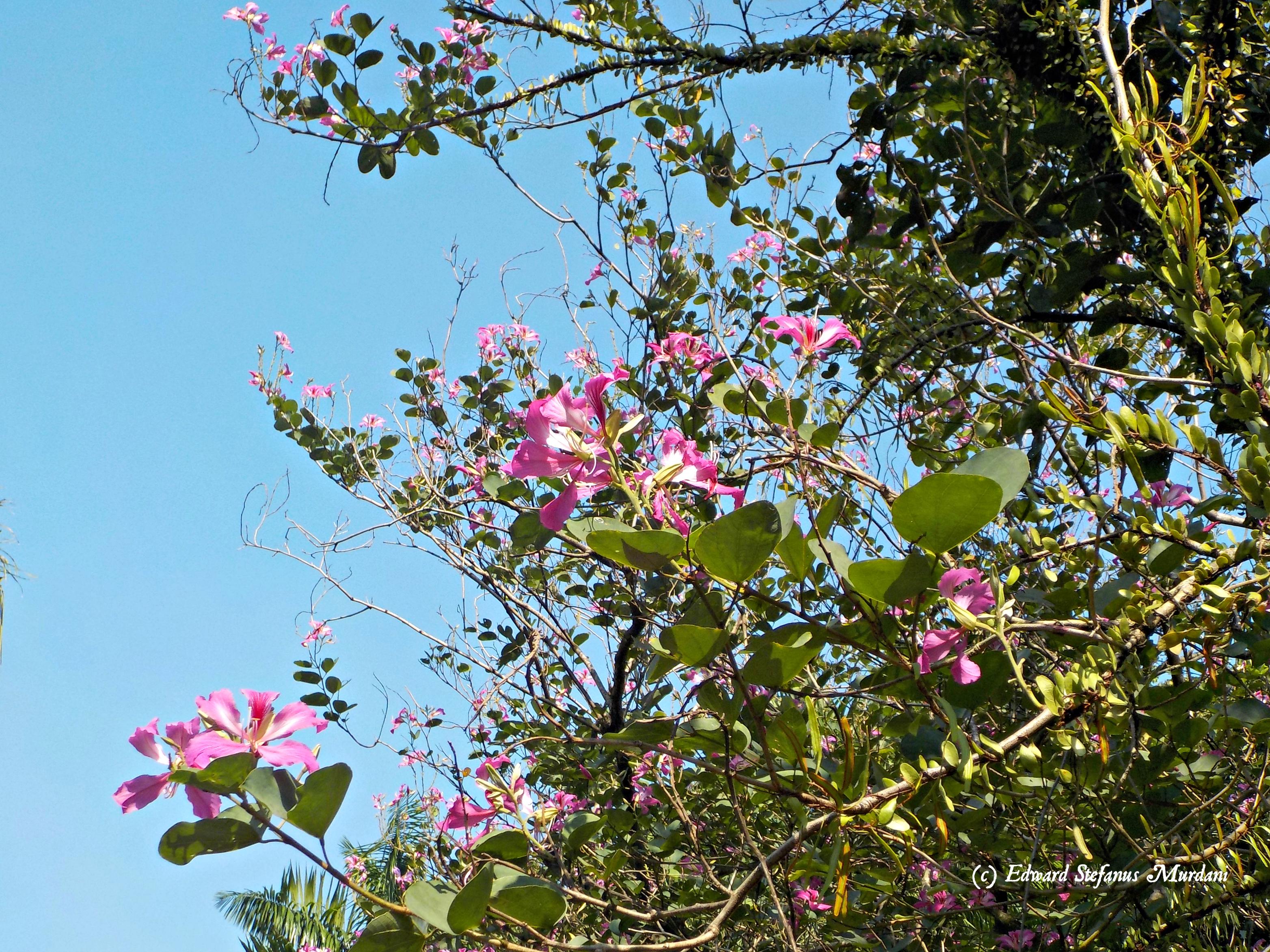 File Bunga Pohon Kupu Kupu Bauhinia Purpurea Jpg Wikimedia Commons