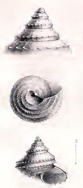 Calliotropis mogadorensis 001.jpg
