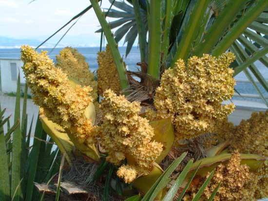 File chamaerops humilis wikimedia commons - Sortes de palmiers ...