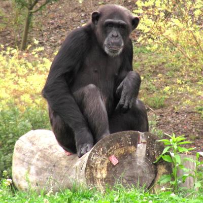 Chimpanzee Sitting Photograph by Mike Burgquist  |Chimp Sitting