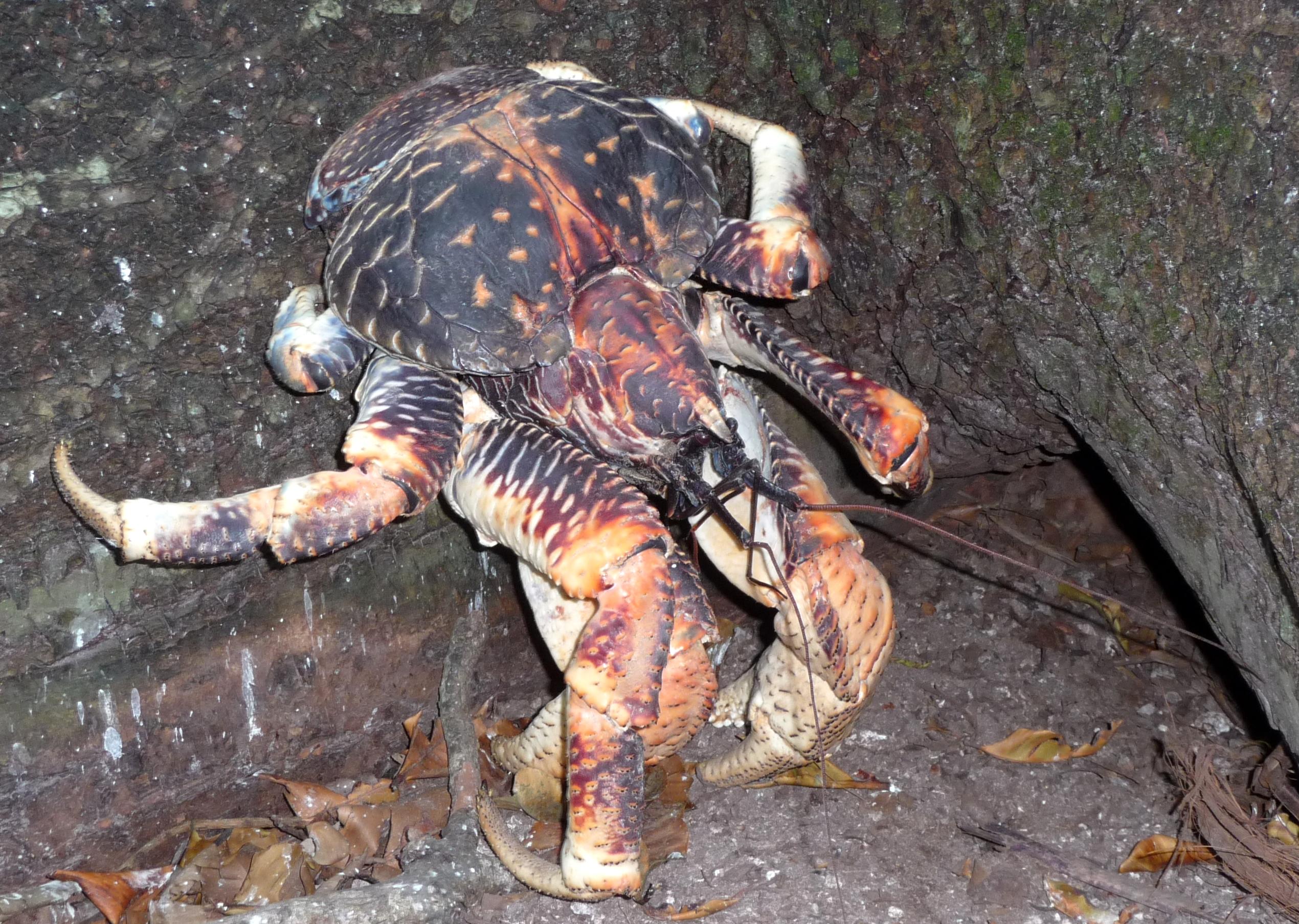 filecoconut crab birgus latro 5 4090676981jpg