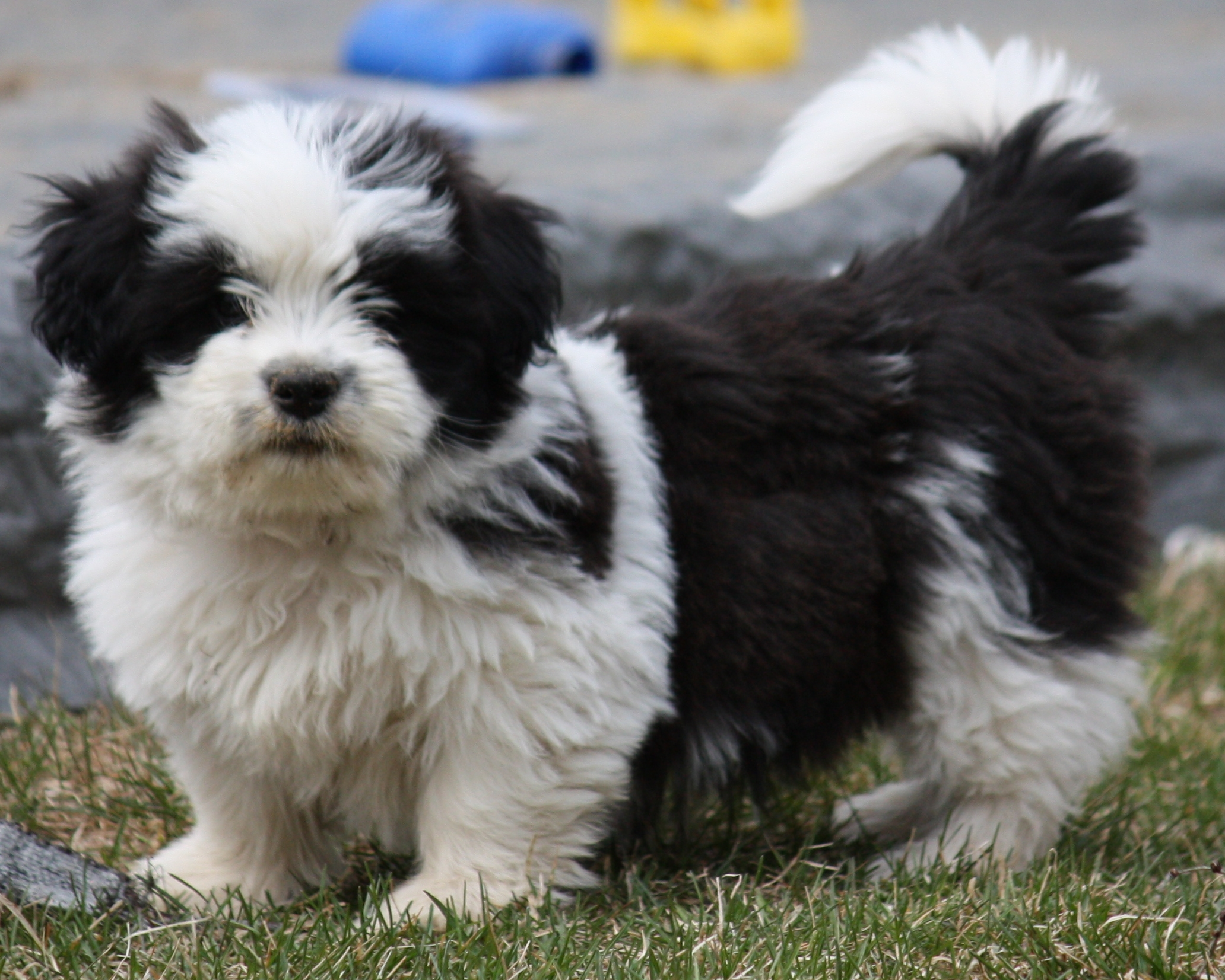Shih Tzu Dogs Grow Up To Be How Big
