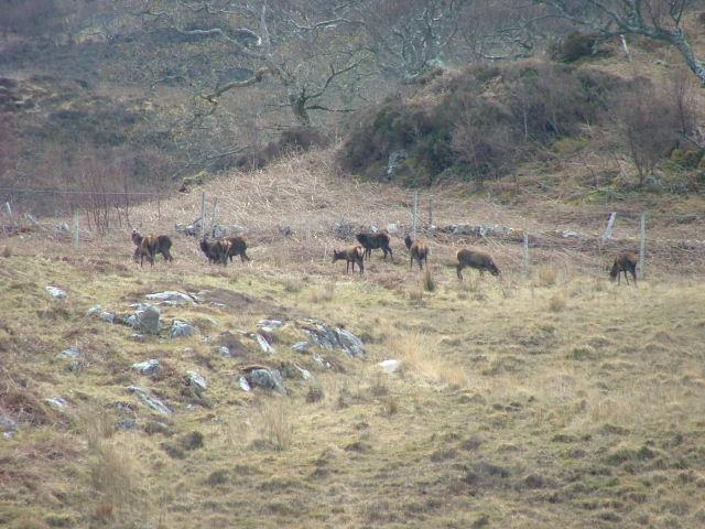 File:Deer grazing at Rhumach - geograph.org.uk - 774499.jpg