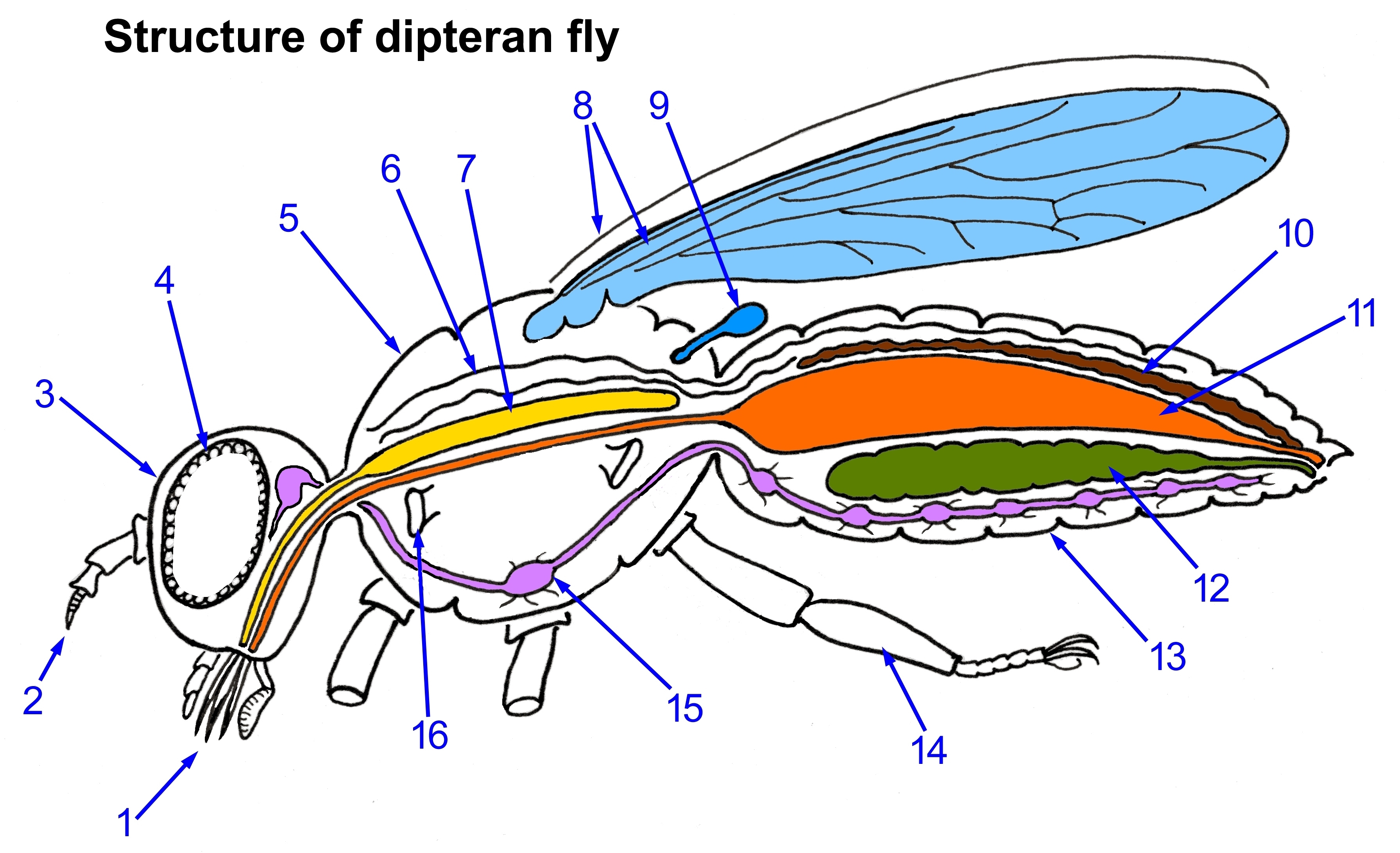 Beautiful Fruit Fly Anatomy Mold - Physiology Of Human Body Images ...