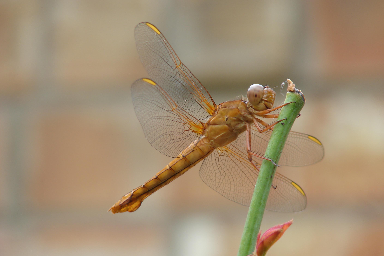 filedragonflybrown070624jpg wikimedia commons