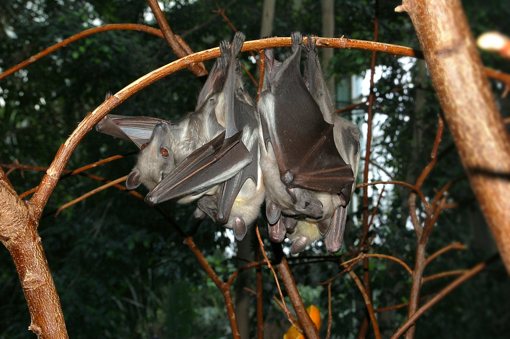 The average litter size of a Straw-coloured fruit bat is 1