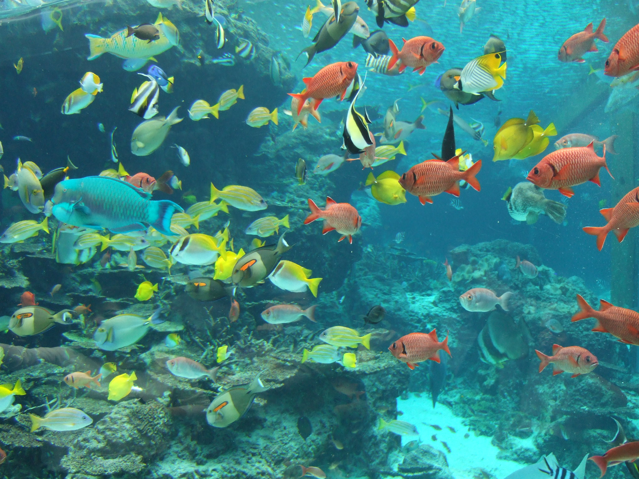 Description Fish in Okinawa Churaumi Aquarium.JPG