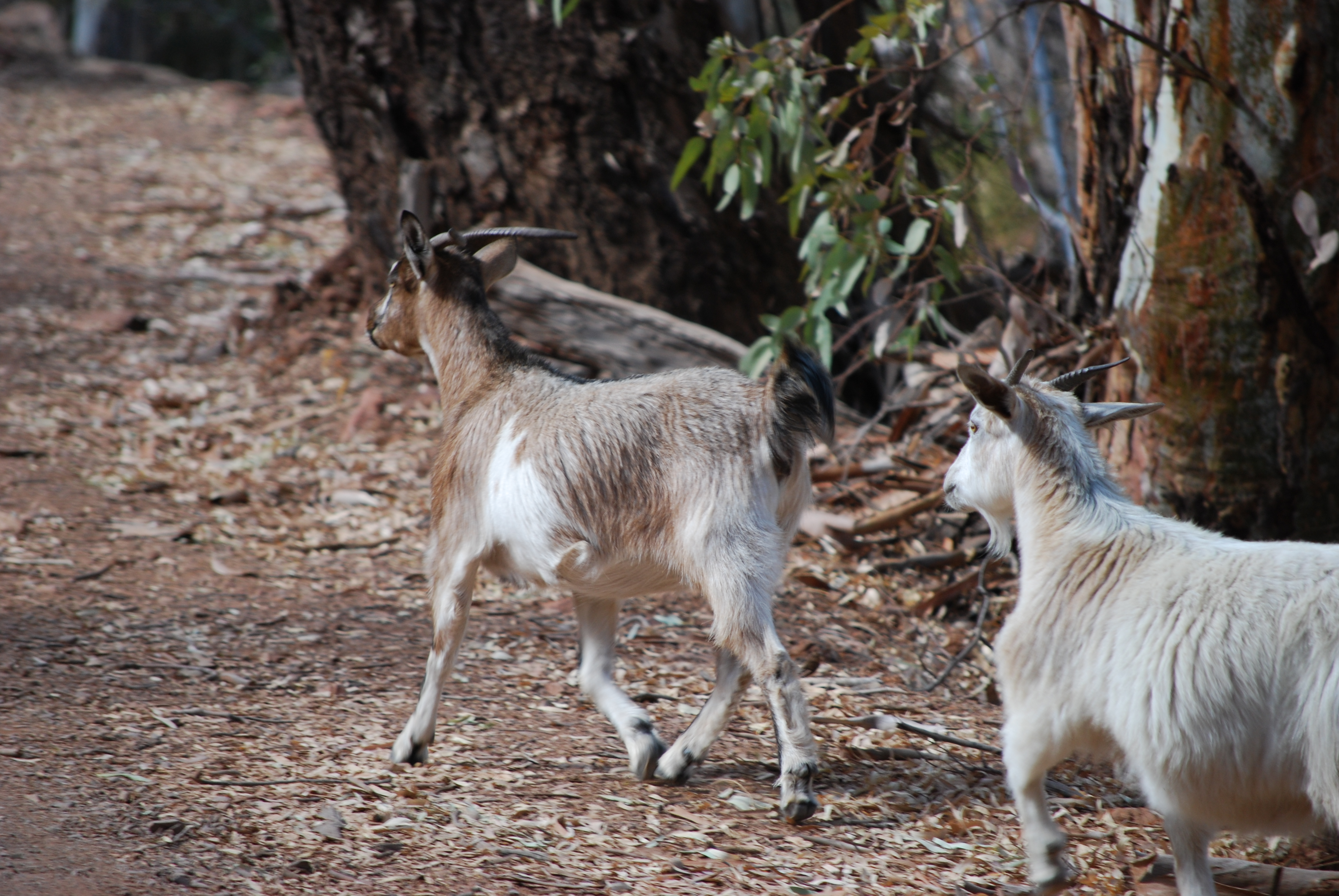 Feral goat - Wikipedia