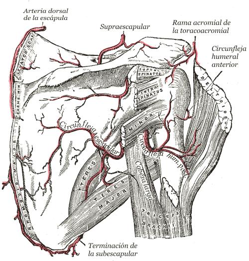 Arteria dorsal de la escápula - Wikiwand