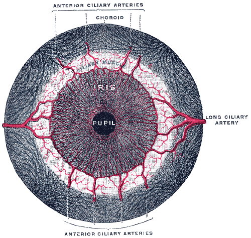Gray's anatomy illustration of the eye, emphasis on the iris courtesy of Wikipedia.