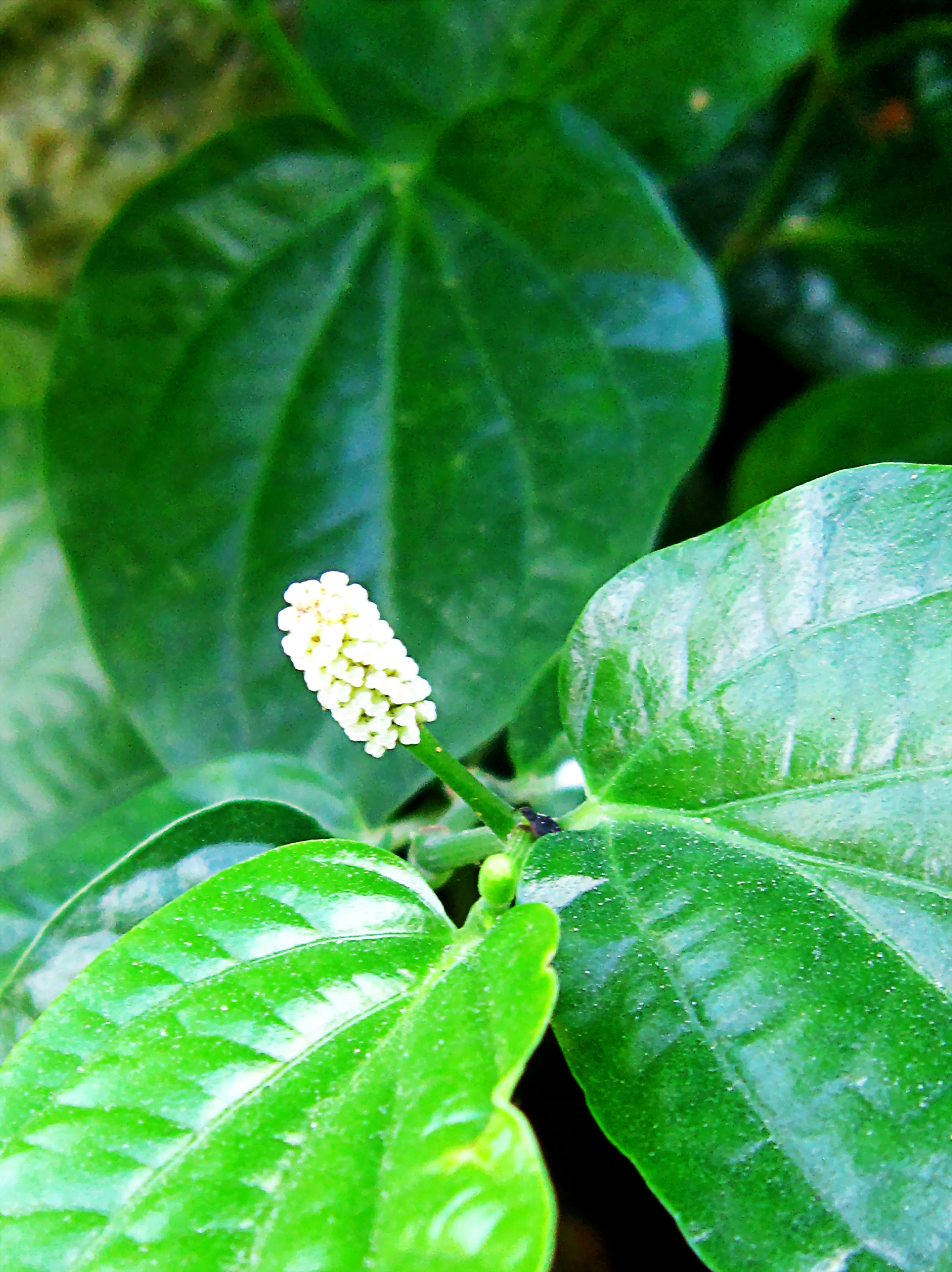 File:Hoa lá lốt.jpg - Wikimedia Commons