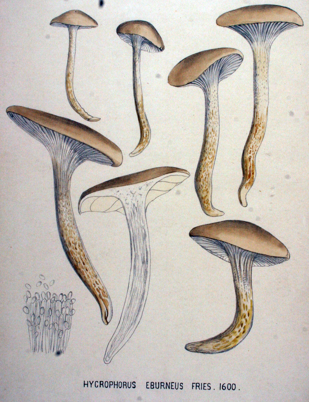 Eburneus latino dating