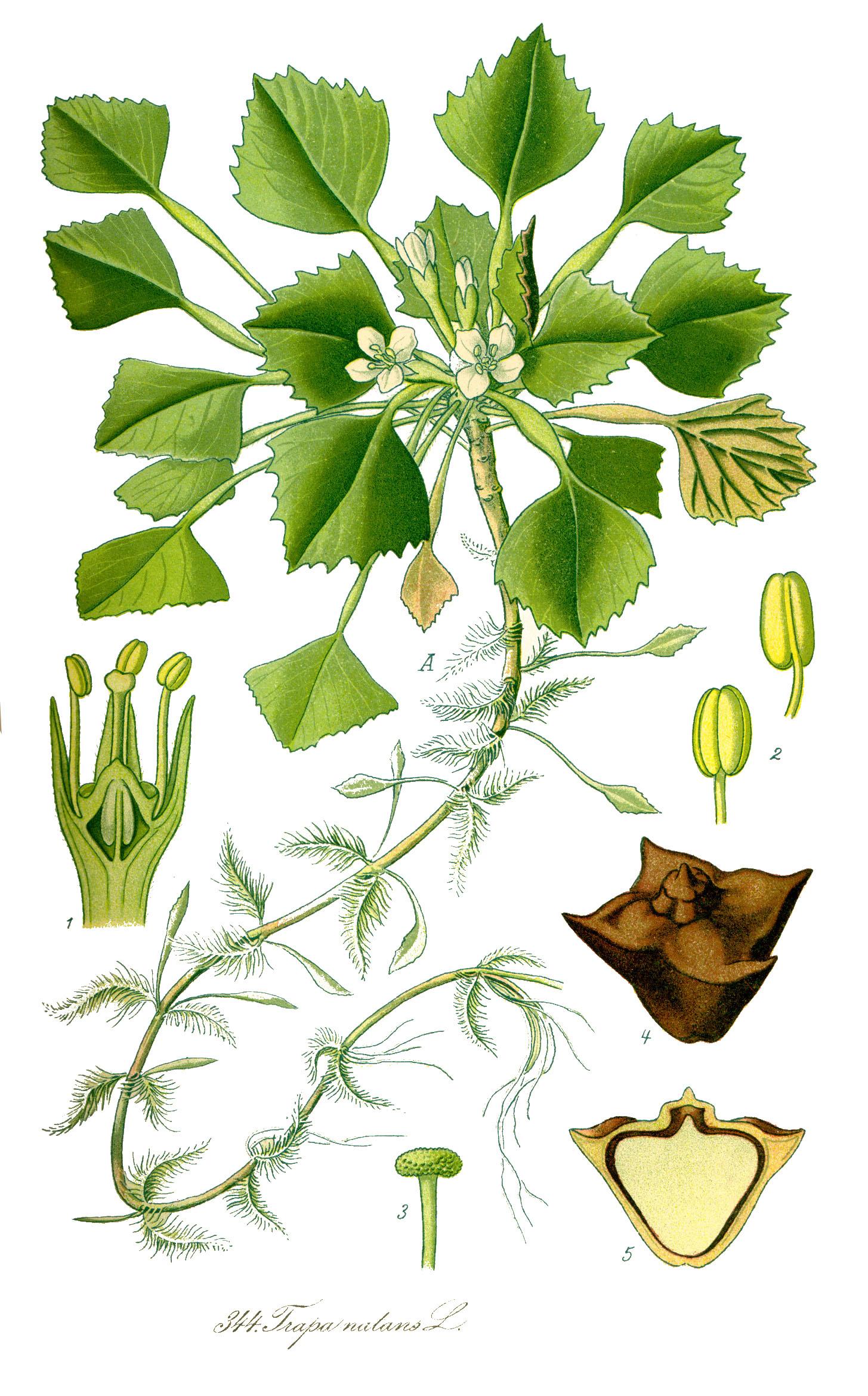 Vesipähkinä on tärkkelyspitoinen kasvi, jonka sukulaisia käÿtetään edelleen aasiassa ravinnoksi.
