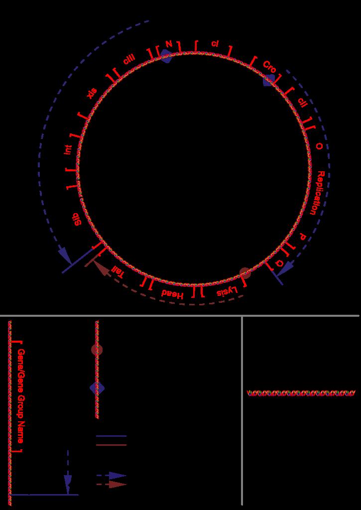 Phage Lambda  U2014 Wikip U00e9dia