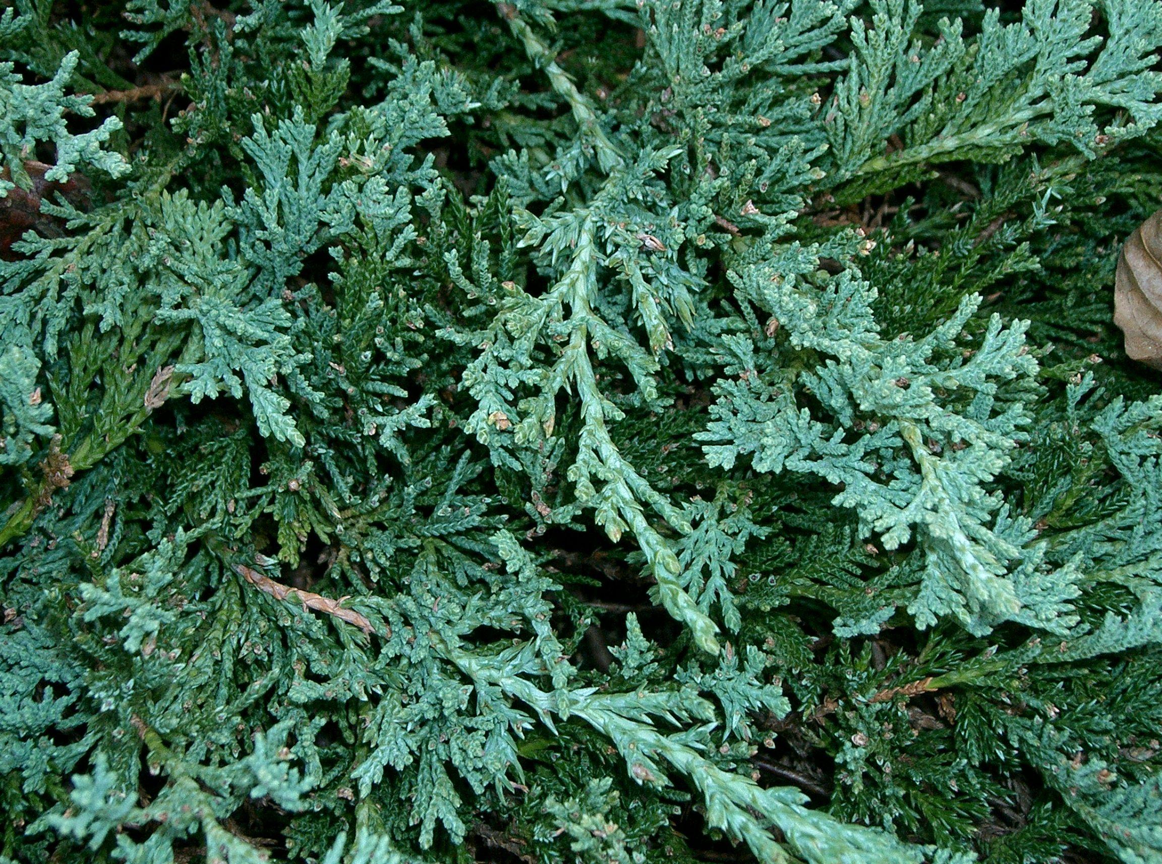 File Juniperus Horizontalis Wiltonii1 Jpg Wikimedia Commons