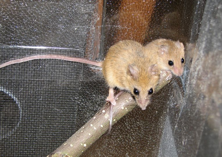 The average litter size of a Chestnut climbing mouse is 3