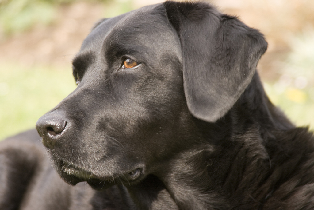 Description Labrador Retriever black portrait Ellis.jpg