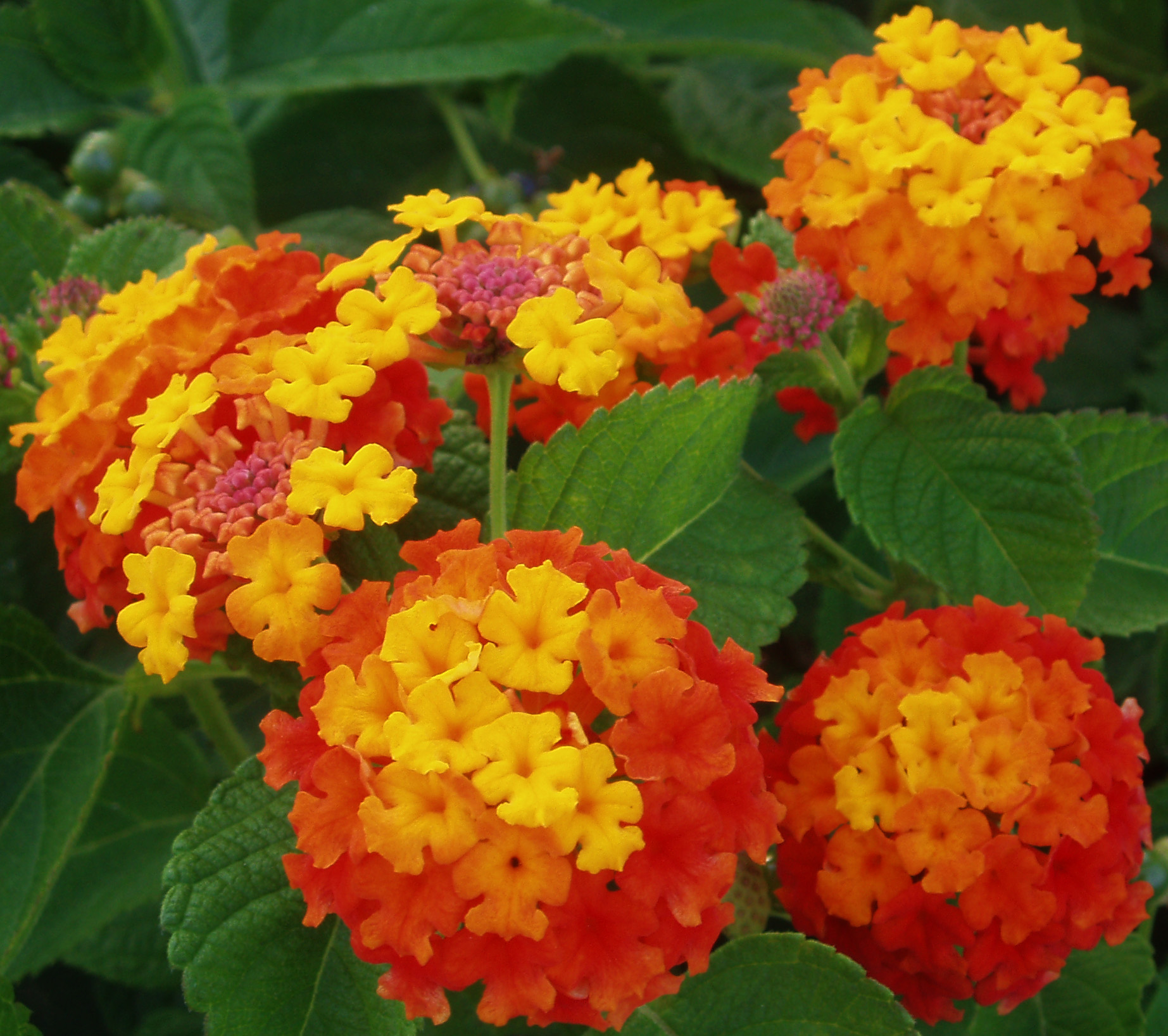 Image result for lantana camara